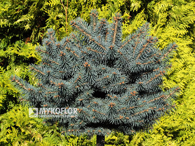 Picea pungens Kutchebo